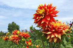 Red and yellow dahlia flowers up close Stock Image