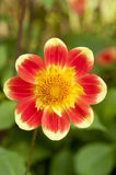 Red and yellow Dahlia Pooh Stock Photo