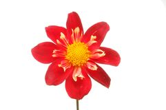 Red and yellow dahlia Royalty Free Stock Photo