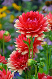 Red and yellow dahlias Stock Photography