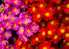 Red and yellow daisies Royalty Free Stock Photo