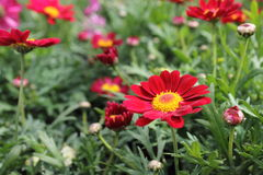 Red and Yellow Daisies Stock Image