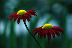 Red and Yellow Daisies stock images