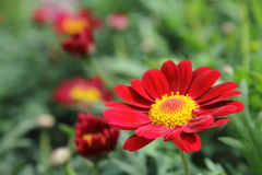 Red and Yellow Daisy Stock Image