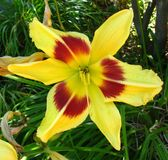 red-and-yellow daylily Royalty Free Stock Images