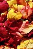 Red and Yellow dead rose petals. Close up of recently dead yellow and red rose petals with a highlights of red petals and a feeling of llove and loss stock image