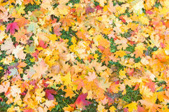 Red and yellow decorative maple leafs fall backgrond Royalty Free Stock Images