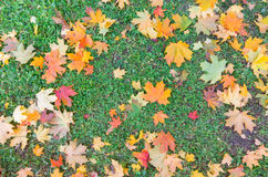 Red and yellow decorative maple leafs fall backgrond Royalty Free Stock Image