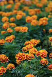 Red with Yellow edge marigold flowers in garden Stock Photography