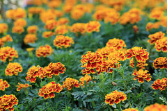 Red with Yellow edge marigold flowers in garden Royalty Free Stock Photo