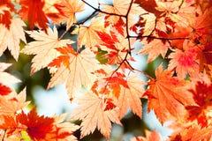 Red yellow fall maple leafs illuminated by sun backgroun Stock Image