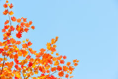 Red yellow fall maple leafs illuminated by sun Royalty Free Stock Images