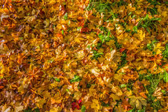 Red and yellow fallen autumn leaves royalty free stock photo
