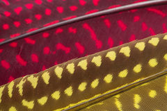 Red and yellow Feather background, close up Stock Photo