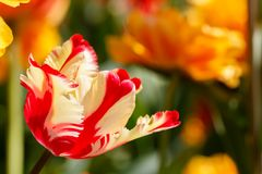 Red and Yellow Feathered Parrot Spring Tulip Flower. Red and Yellow Feathered Parrot Tulip Flower stock images