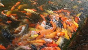 Red and yellow fish stock video footage