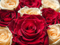Red and yellow floral roses background Royalty Free Stock Photography