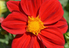 Red yellow Flowe Royalty Free Stock Photos