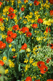 Red and Yellow flower bed Royalty Free Stock Photos