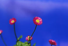 Red and yellow flower with dark blue sky background. Red and yellow flower with out of focus dark blue sky background Stock Photography
