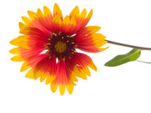 Red and yellow flower Gaillardia Royalty Free Stock Photography