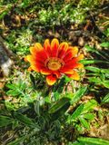 Red and yellow flower royalty free stock photography