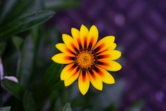 Red and yellow flower royalty free stock photos