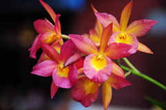 Red and yellow flower orchid Stock Image