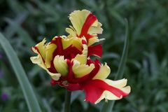 Red and yellow flower Royalty Free Stock Images