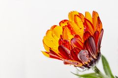 Red yellow flower pot marigold. Kingdom:Plantae Clade:Angiosperms Clade:Eudicots Clade:Asterids Order:Asterales Family:Asteraceae Genus:Calendula Species:C stock photo