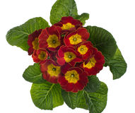 Red and yellow flowering primrose Stock Photo