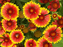 Red and yellow flowers Royalty Free Stock Photography
