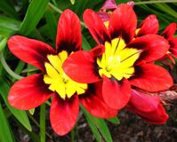 red-and-yellow flowers Stock Image