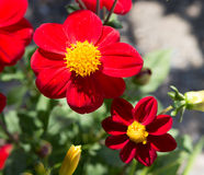Red yellow flowers. Bee pollen garden Stock Photography