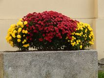 Red and yellow flowers in cement pots. Sighisoara, Romania royalty free stock photo