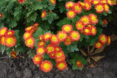 Red and yellow flowers of Chrysanthemum. From above Royalty Free Stock Images