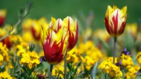 Red and Yellow Flowers during Daytime Royalty Free Stock Photography