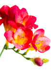 Red and yellow flowers of freesia Stock Photography