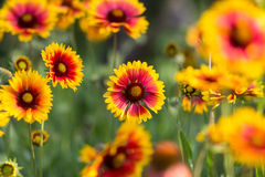 Red yellow flowers in a garden Stock Photos