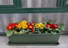 Red and Yellow flowers in a green plantar in Venice. Brilliantly colorful red and yellow flowers in a green plantar outside a window in Venice, Italy Royalty Free Stock Photos