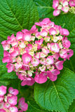 Red and yellow flowers of Hydrangea Royalty Free Stock Photography