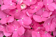 Red and yellow flowers of Hydrangea Stock Image