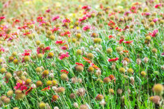 Red and yellow flowers on meadow Stock Photography
