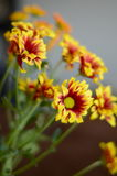 Red and Yellow Flowers. OREd and Yellow Flowers next to the window Royalty Free Stock Photos