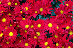 Red and yellow flowers with pollen Stock Photo