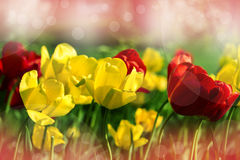 Red and yellow flowers, spring tulips on sunny day. Flowers concept. Royalty Free Stock Image