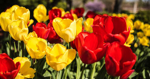 Red and yellow flowers, spring tulips on sunny day. Flowers concept. royalty free stock photos