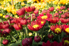 Red and Yellow flowers. With sunshine stock images