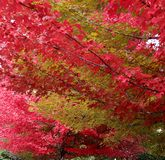 Red and yellow foliage on the branches of the maple trees in the autumn season. Close-up fall background stock photo
