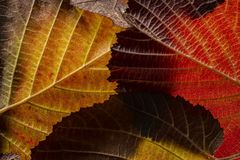 Red and yellow foliage close up. In the detail royalty free stock images